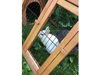 White female netherland dwarf rabbit