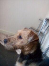 Female 1ye old lakeland terrier
