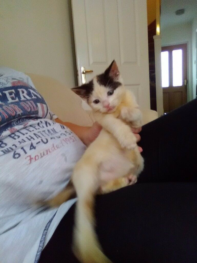 Kitten for sale
