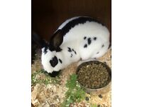 Female rabbit needs new home