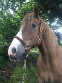 Companion Horse Only - Free to good home