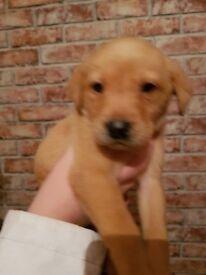 Fox red/golden labrador puppies
