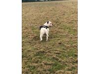 Old English bulldog -waiting list available