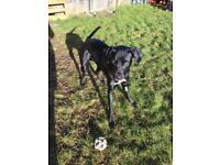 2 year old male lab x dalmation needs loving home