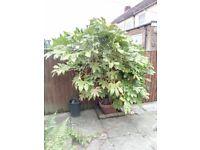 Large Mature Fatsia plant in terracotta pot