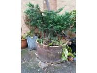 Plant pine