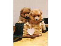 Gorgeous Pomeranian puppies