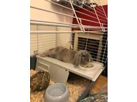 Gorgeous lop bunny and cage etc NEEDS NEW HOME ASAP!