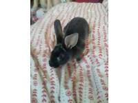 Baby rabbit for sale £15pounds pounds he is a male 10weeks old