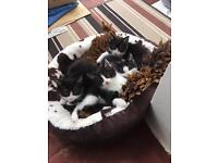 6 Kittens for Sale - Cardigan area