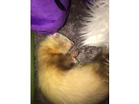 Ferret for Adoption in Northampton