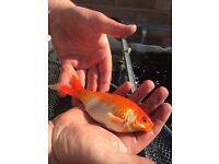 Large Goldfish/Sarasa Comets