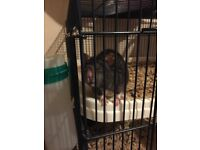 2 Fancy rats female and 1 Rex rat female *Must go to a loving home*
