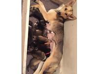 Husky cross German shepherd puppies
