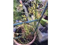 A climbing plant
