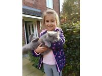 GREY CAT FOUND IN SWINTON / SALFORD / MANCHESTER, M27