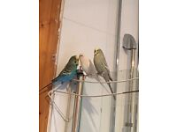 Three budgies with Cage and accessories
