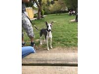 KC registered 2 years old male whippet