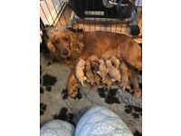 F1 Cockerpoo puppies for sale