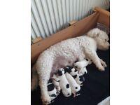Shichon Puppies F1 Hybrids