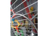 1 budgie, 2 red rumps with large parrot cage and toys