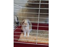 Male rabbit and cage