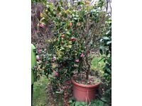 Large Camelias - 8ft plus
