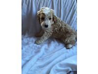 Spoodles puppy