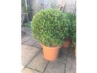Round Buxus Balls garden plants