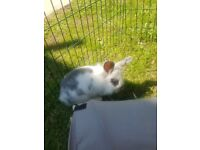 female rabbit 9months old