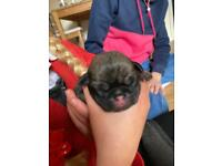 Pedigree Pug puppies due to leave December.