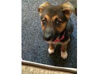 German Shepard X Collie pup for sale! 9 weeks old