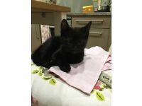 Gorgeous black kittens 10 weeks old