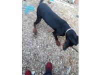 Male Doberman 6months old