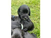 Cocker spaniel Labrador cross pups