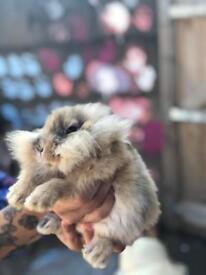 Baby mini lion head rabbits