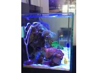 Marine Brown gorgonian on live rock marine coral for sale