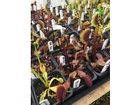 Venus fly traps for sale