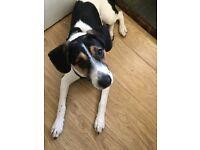 Loving beagle for sale £200
