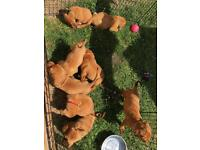 Stunning litter of kc Dogue de Bordeaux