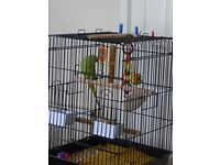 Indian Ring-Necked Parakeet with cage & toys etc