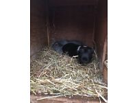 Guinea pigs x 2 with 2 story hutch