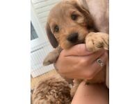 2 little cockapoos left available