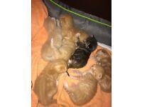 6 ginger kittens for sale