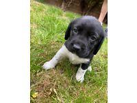 Beagador Pups for sale