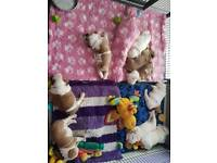 3 beautiful Kc REGISTERED British bulldog puppies