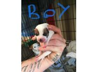 Jack Russell pups 1 girl 4 boys