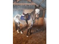 15.2/15.3 appaloosa mare for sale
