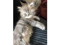 Beautiful pedigree persian kittens