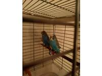 Pair of budgies and cage